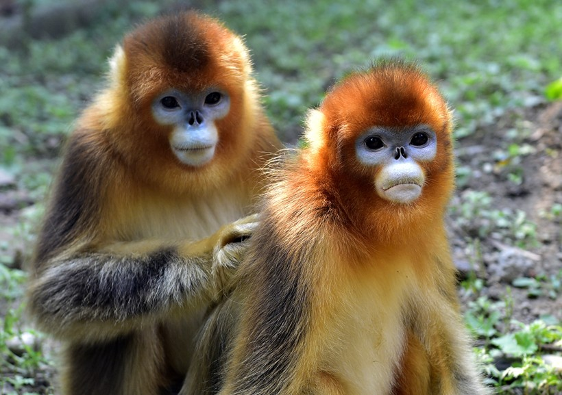 golden-snub-nosed-monkey-louse-820x577
