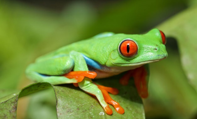 red-eyed-tree-frog-staring