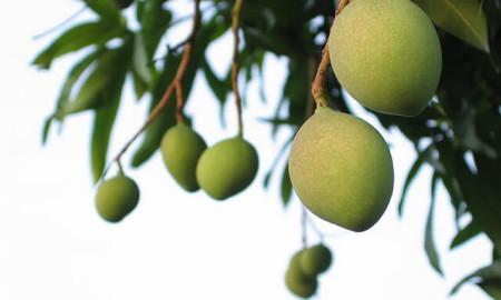green_mangoes