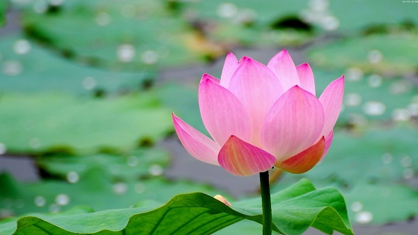 lotus_leaf_flower_pond_water_20673_1920x1080