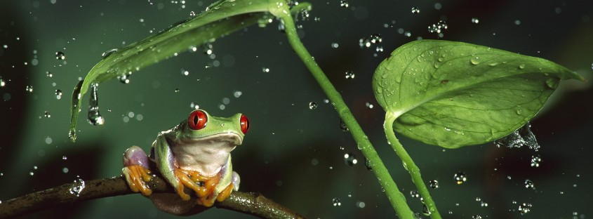 nature_rain_jungle_animals_leaves_frogs_water_drops_macro_depth_of_field_Red_Eyed_Tree_Frog_amphibians_1920x1080